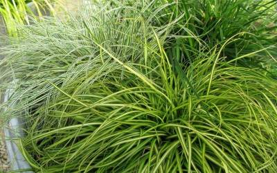 Shop Eversheen Carex - 2.5 Quart