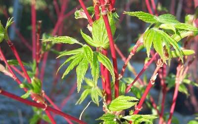 Shop Fjellheim Dwarf Coral Bark Japanese Maple - 2 Gallon