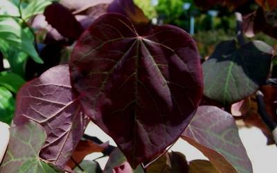 Shop Forest Pansy Redbud - 15 Gallon