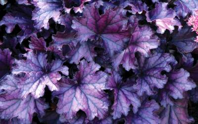 Shop Forever Purple Heuchera - 1 Gallon