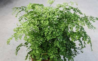Shop Southern Maidenhair Fern - 1 Gallon