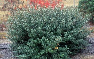 Buy Deer Resistant Shrubs Online