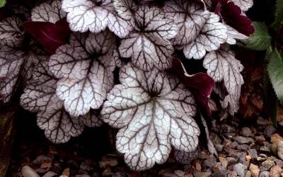 Shop Glitter Heuchera - 1 Gallon