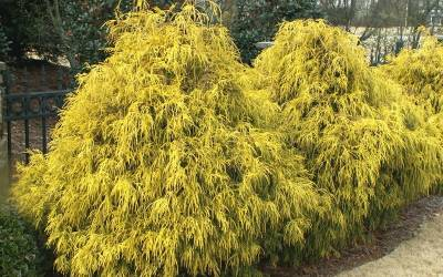 Shop Gold Mop Cypress - 3 Gallon
