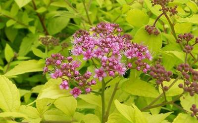 Shop Gold Mound Spirea - Spiraea japonica 'Gold Mound' - 1 Gallon