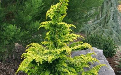 Shop Gold Tip Fernspray Hinoki Cypress - 1 Gallon