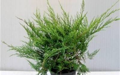 Shop Dwarf Pfitzer Juniper  - 3 Gallon