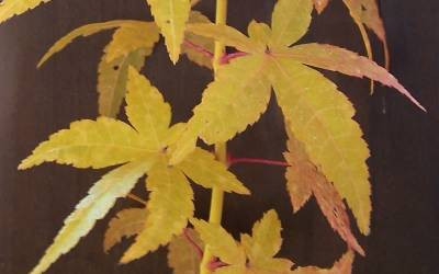 Shop Golden Bark Bihou Japanese Maple - 3 Gallon