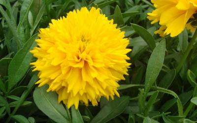 Shop Golden Sphere Solanna Coreopsis - 1 Gallon