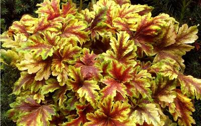 Shop Golden Zebra Heucherella - 1 Quart
