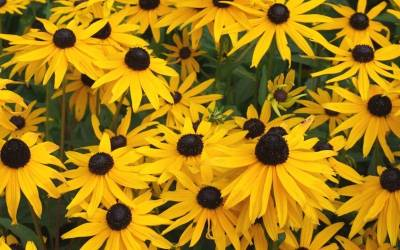 Shop Black Eyed Susan - 1 Gallon