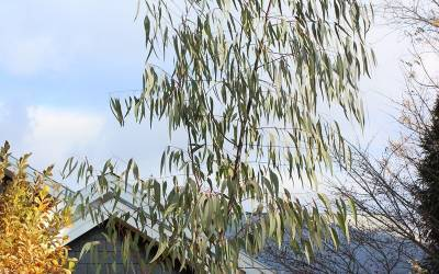 Buy Cold Hardy Eucalyptus Trees Online