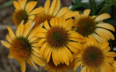 Shop Harvest Moon Echinacea - 1 Gallon