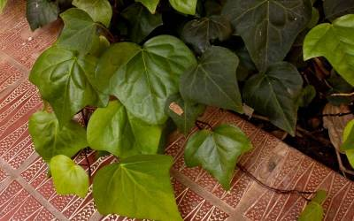 "Shop Algerian Ivy - 10 Count Flat of 4"" Pots"