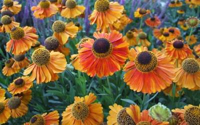 Shop Helenium Mardi Gras Helens Flower - 1 Gallon