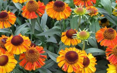 Shop Helenium Short and Sassy Dwarf Sneezeweed - 1 Gallon