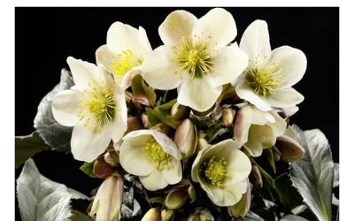 Shop Helleborus Gold Collection 'Champion'  - 1 Gallon
