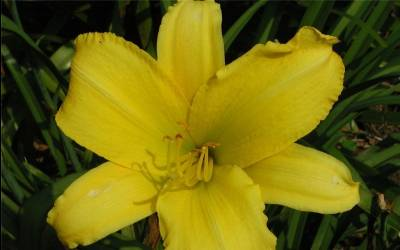 Shop Hemerocallis Happy Returns Daylily - 2.5 Quart