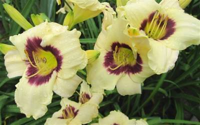 Shop Hemerocallis Pandora's Box - 1 Gallon