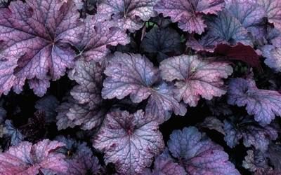 Shop Heuchera Amethyst Myst Coral Bells - 1 Gallon