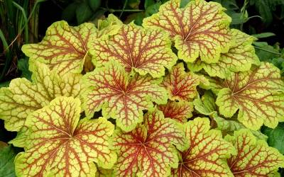 Shop Heuchera  Delta Dawn - 1 Gallon