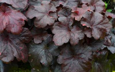 Shop Heuchera Georgia Plum - 1 Quart