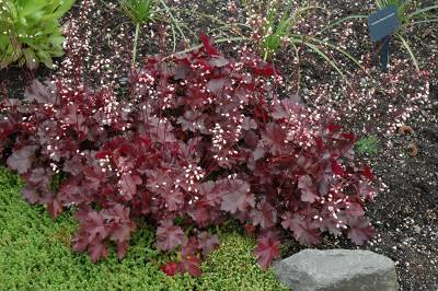 Shop Heuchera Little Cuties Coco - 1 Quart
