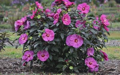 Shop Hibiscus Berry Awesome - 1 Gallon