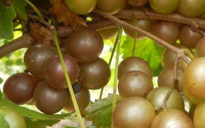 Shop Higgins Muscadine - 1 Gallon