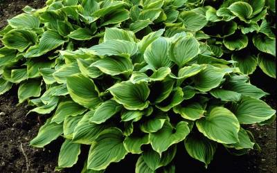 Shop Revolution Hosta Lily - 1 Gallon
