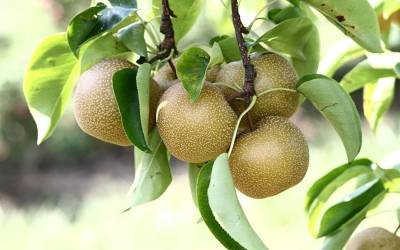 Shop Hosui Asian Pear - 5 Gallon