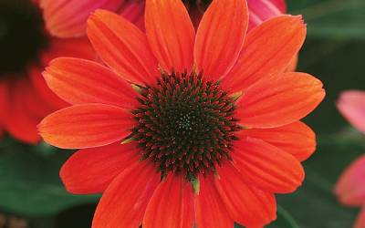 Shop Hot Coral Coneflower - 1 Gallon