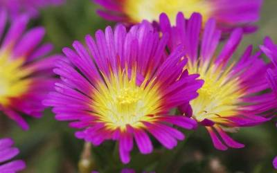 Shop Delosperma Hot Pink Wonder Ice Plant - 8 Count Flat of Quart Pots