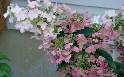 Shop Pink Diamond Hydrangea - 3 Gallon