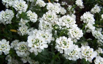 Shop Purity Candytuft - 1 Pint