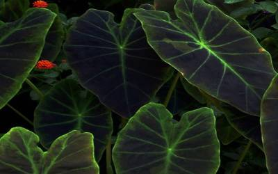 Shop Imperial Taro Elephant Ears - 1 Gallon