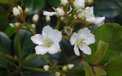 Shop Indian Hawthorn Spring Sonata - 3 Gallon