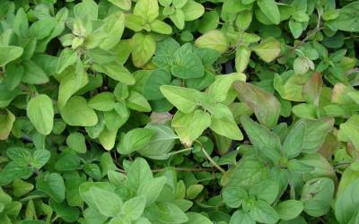 Shop Italian Oregano - Origanum - 3 Count Flat of Pint Pots