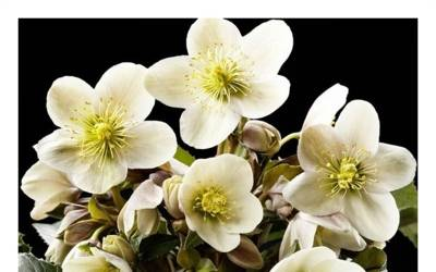 Shop Helleborus Gold Collection 'Joker'  - 1 Gallon