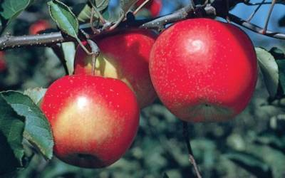 Shop Jonagold Apple - 5 Gallon