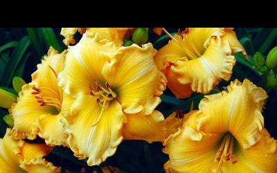 Shop Joy of Living Goldie Locks Daylily - 2.5 Quart