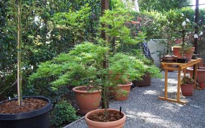 Buy Japanese Maples - Green Leaf Online