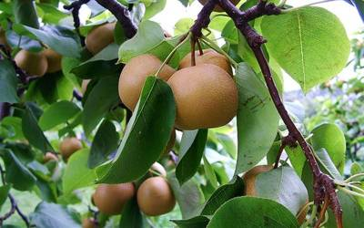 Shop Korean Giant Asian Pear - 5 Gallon