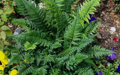 Shop Korean Rock Fern - 1 Gallon