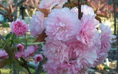 Shop Kwansan Cherry - 5 Gallon