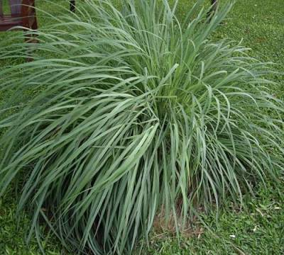 Shop Lemon Grass - 1 Quart