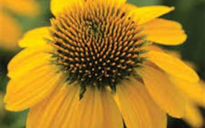 Shop Lemon Yellow Coneflower - 1 Gallon