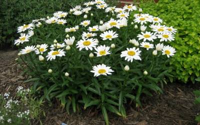 Shop Snow Cap Shasta Daisy - 10 Count Flat of 1 Quart Pots