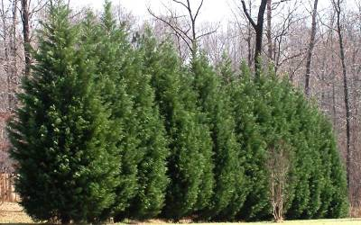 Buy Fast Growing Trees Online