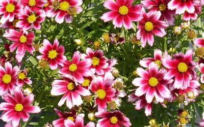 Shop L'il Bang Starstruck Coreopsis - 3 Count Flat of Pint Pots